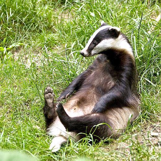 Барсук фото животного