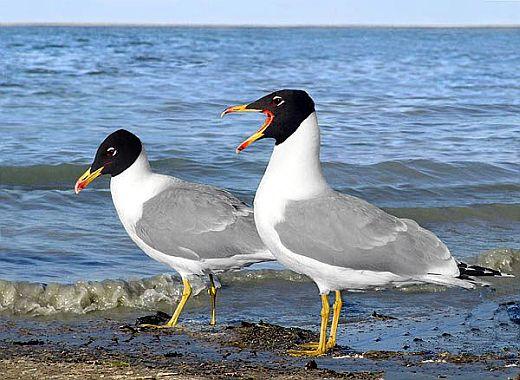 чайка черноголовый хохотун фото