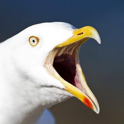 Серебристая чайка хохотунья
