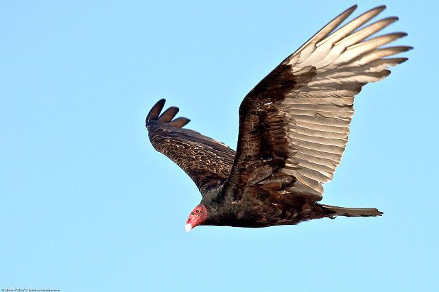 Птица падальщик - черная катарта