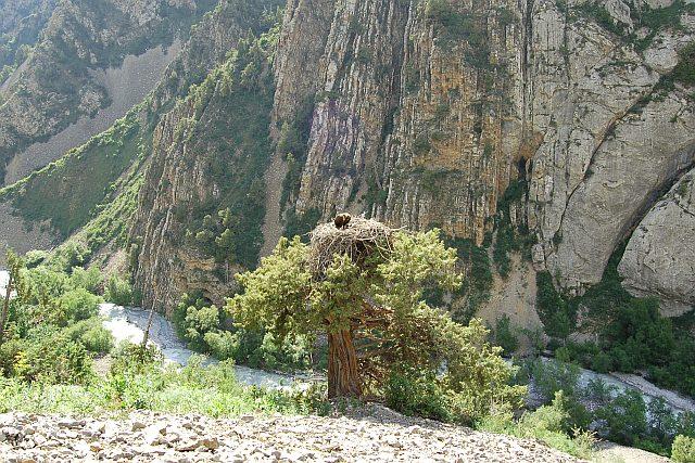 Где гнездится черный гриф - гнездо птицы великана - фото