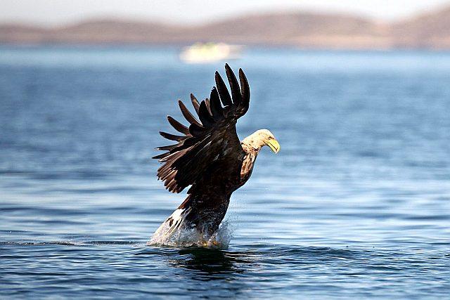 Как охотится орлан-белохвост - фото