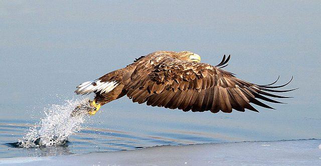 как орланы ловят рыбу - фото