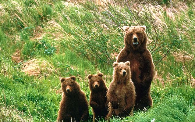 Кавказские бурые медведи - медведица с медвежатами в горах