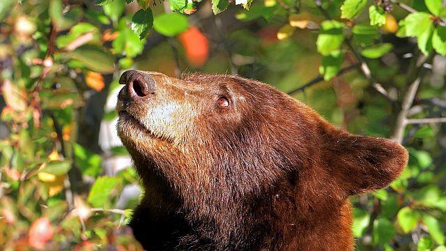 Кавказские бурые медведи питание