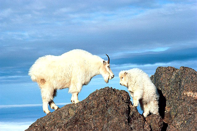 Кавказский тур животное - фото в горах