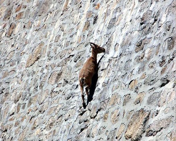 каменный козел - фото