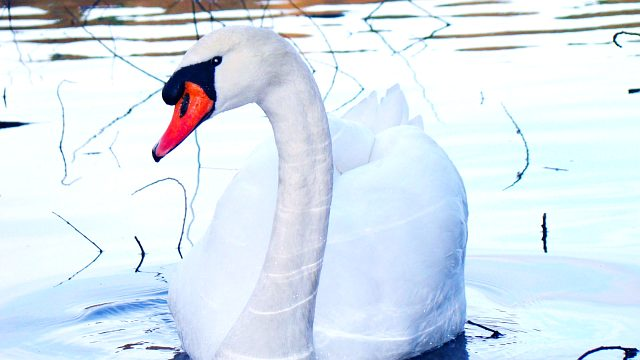 лебедь шипун фото