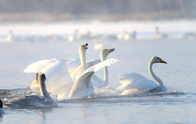 лебедь кликун фото