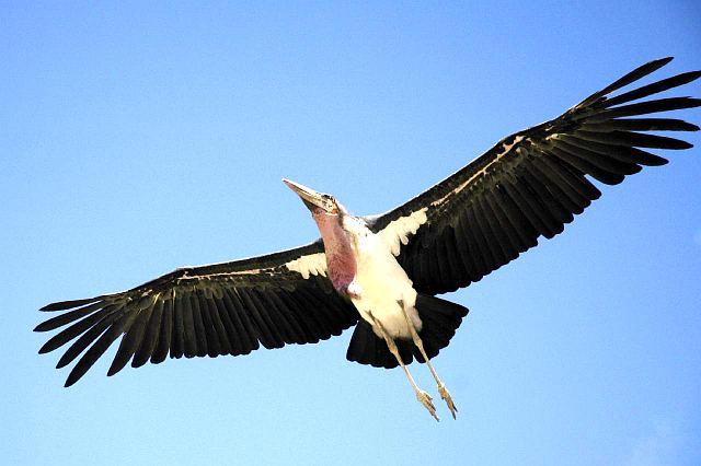 Африканская птица падальщик марабу в полете