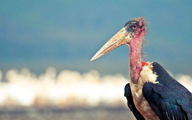Африканская птица падальщик марабу