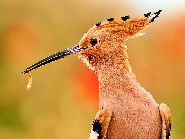 птица удод фото и описание