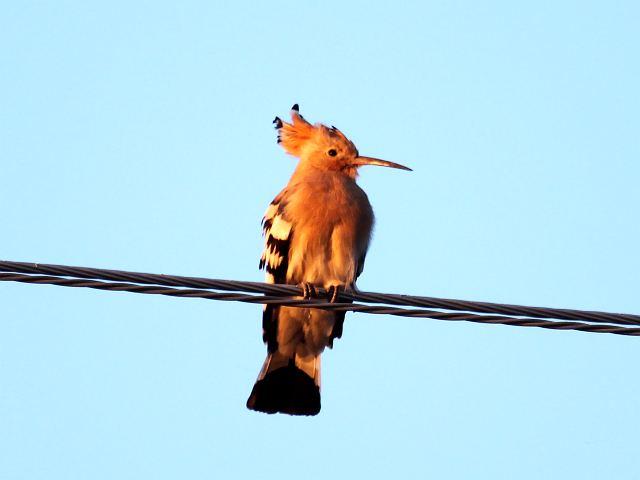Редкое фото – удод в городе, сидящий на проводах.