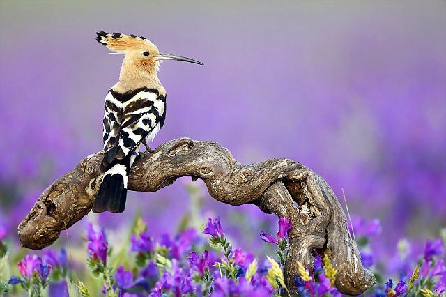 Красавец удод в расцветающей после весенних дождей пустыне - фото.
