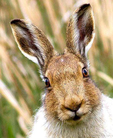 Зачем зайцу большие уши - фото