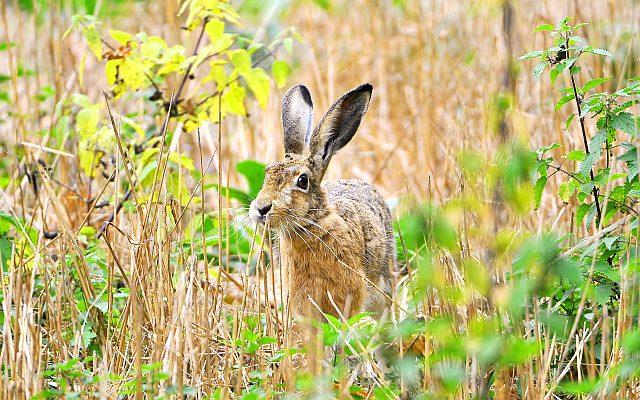 Зачем зайцу большие уши и острые когти