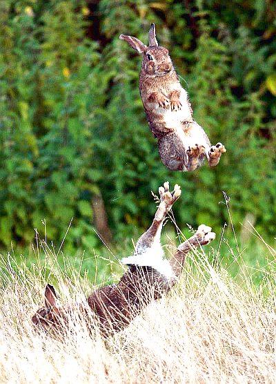 зайцы играют в чехарду - фото