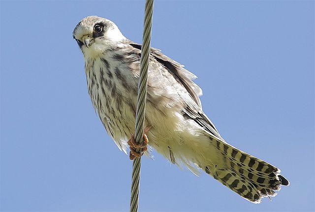 кобчик птица