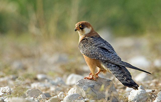 Птица похожая на голубя