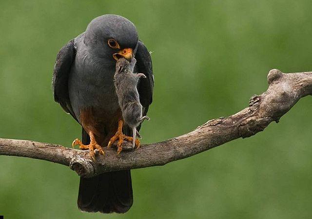 Как выглядит птица кобчик - фото