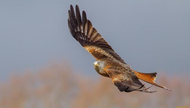 Птица красный коршун на охоте