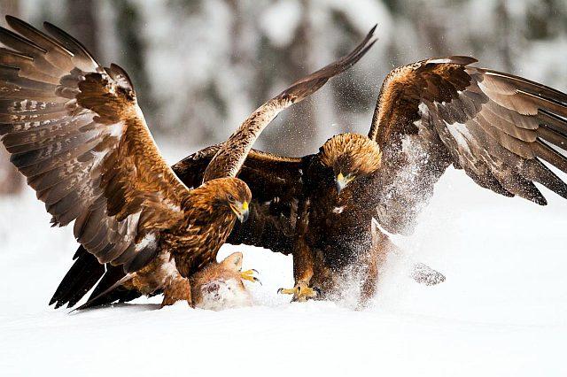пара беркутов на охоте - фото