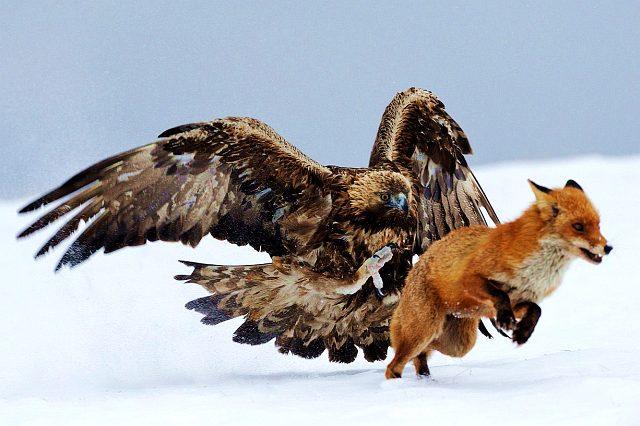 Самая большая хищная птица - беркут