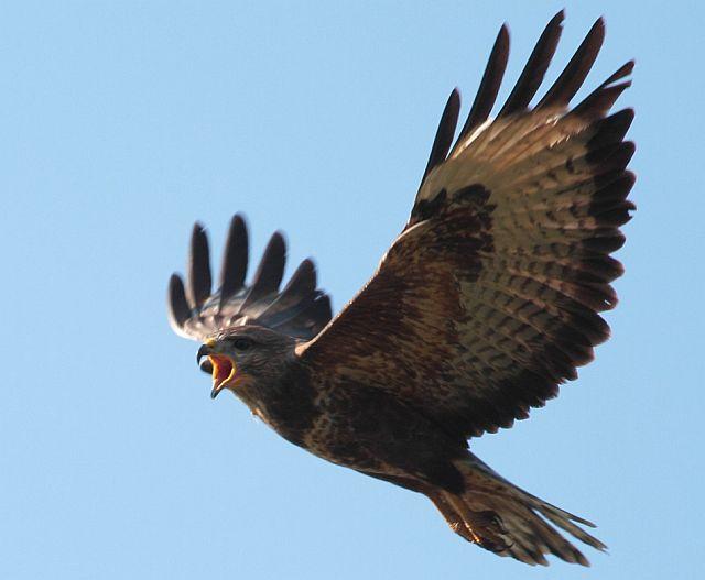 птица сарыч канюк - фото