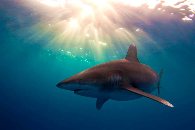 Почему в Черном море нет акул - фото