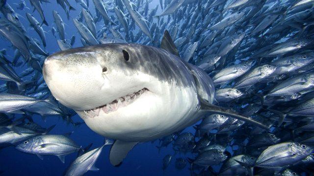 Почему в черном море нет акул - фото к статье