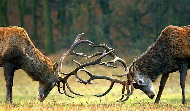 Кто в лесу устраивает рыцарские турниры?