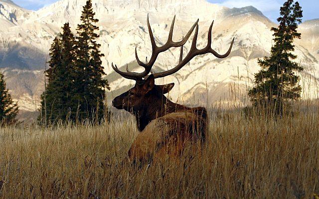 кавказский благородный олень фото