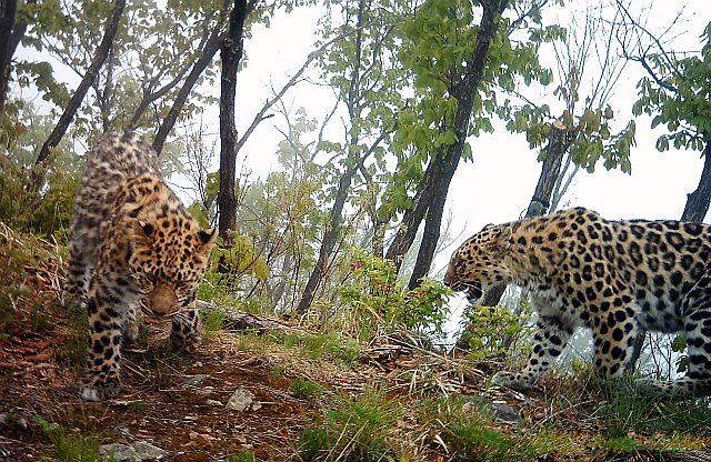 Загадка про леопарда для детей: «У какой кошки свое королевство?»