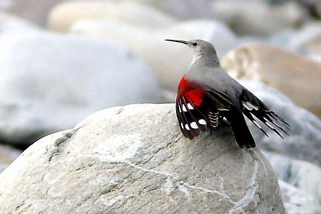 Так выглядит птица стенолаз - фото