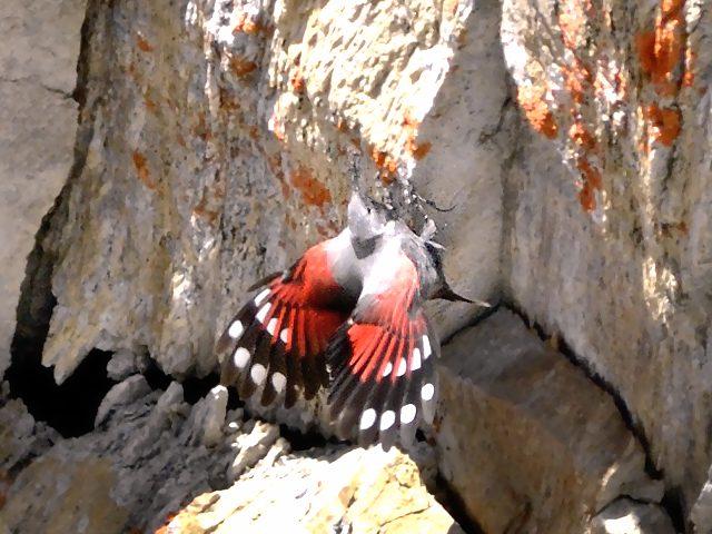 На фото птица стенолаз взбирающаяся по отвесной скале.