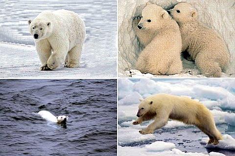 Занимательные факты о белых медведях