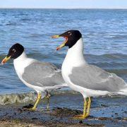 Чайка хохотун и чайка хохотунья – сходство и различие