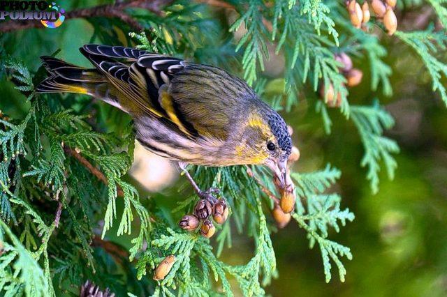 Чижик фото птицы