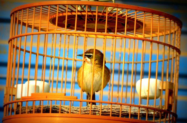 Чижик в клетке фото птицы