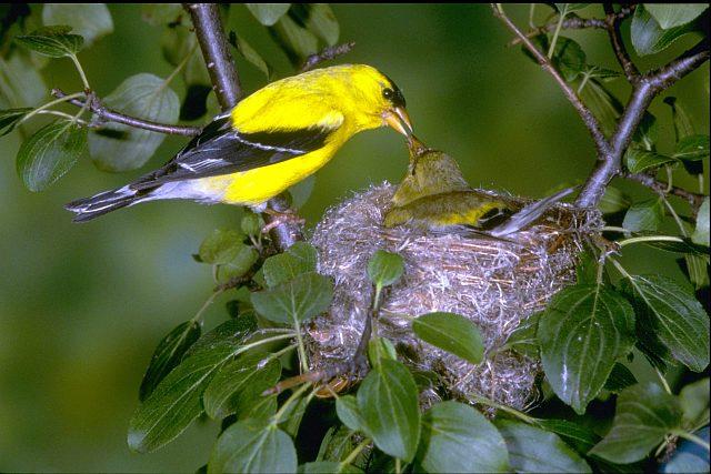 Гнездо птицы чижика фото