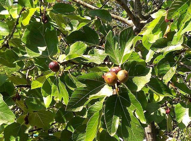 Плодоносящее дерево инжира.
