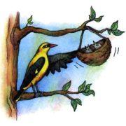 Как поют разные птицы - иволга.
