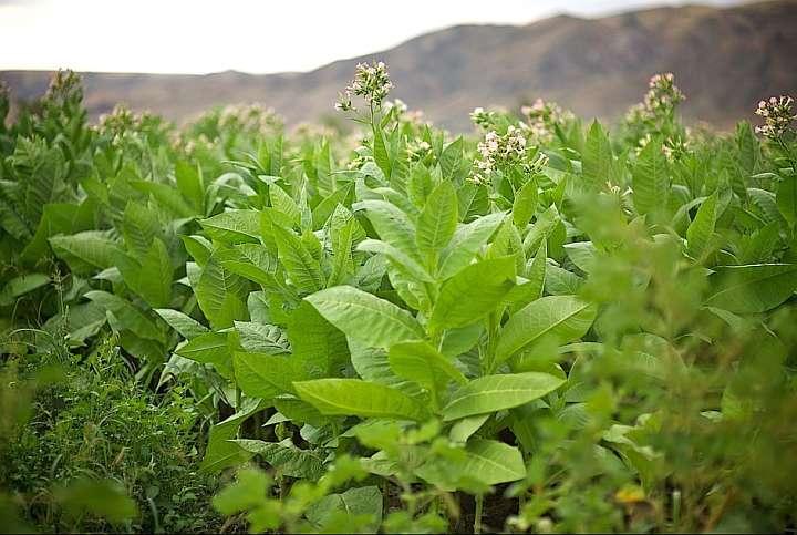 Табак - плантация, фото
