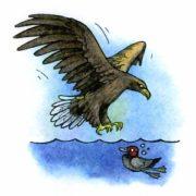 Как охотится орлан-белохвост?