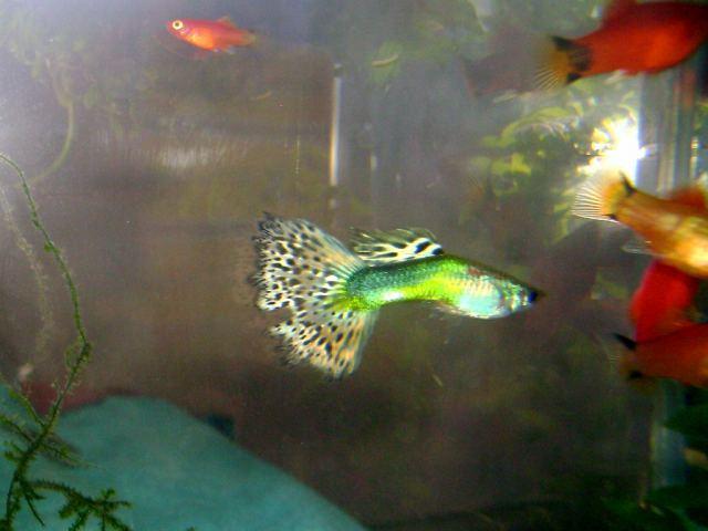 Самые простые аквариумные рыбки - вуалехвостые гупики - фото