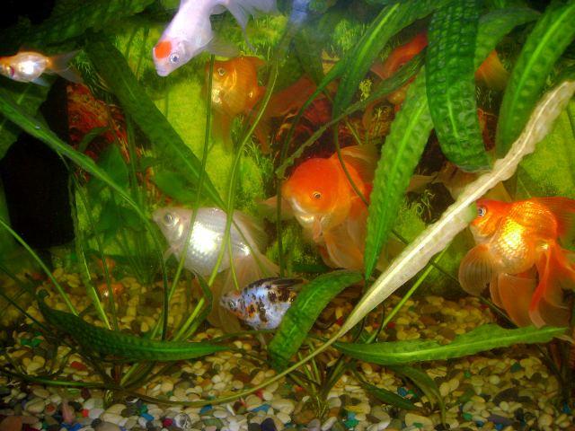 Золотые рыбки - фото