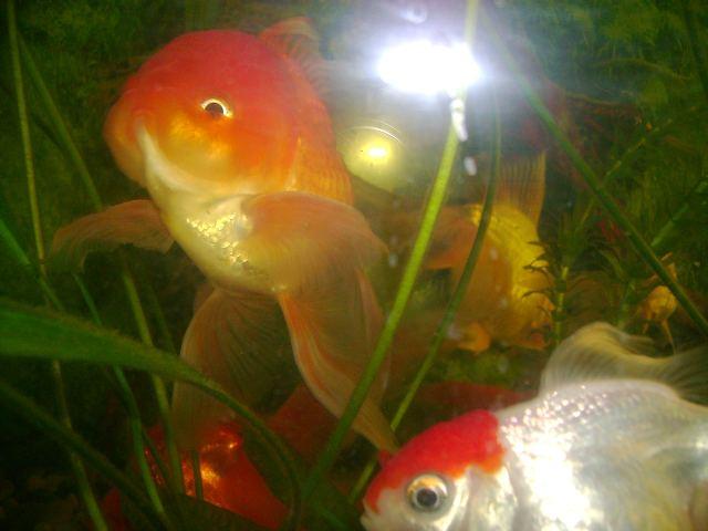 память золотой рыбки - фото