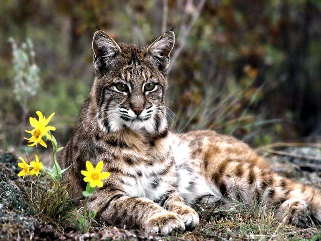 Кавказский дикий камышовый кот