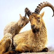 Кавказский тур животное - фото
