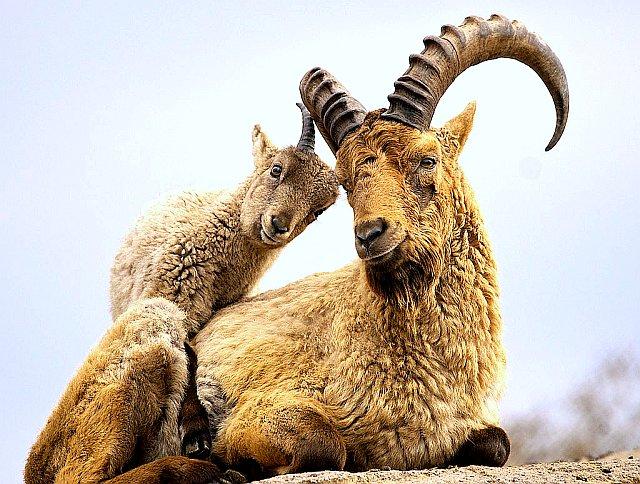 Кавказский тур животное